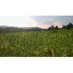 Zelená Země Konopný čaj list a květ 30g